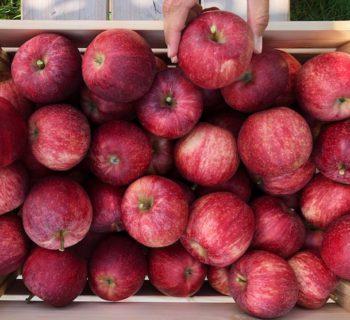 Wunderwuzi Bio-Apfel: Auf den Spuren des heimischen Superfoods (mit zwei herrlich süßen, veganen Rezepten: Apfelmuffins und Apfelstrudel)